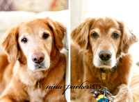Golden Retrievers Home Lifestyle Session