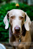 Weimaraner Home Lifestyle Session