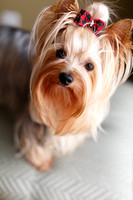 Murphie - Yorkie Home Lifestyle Session
